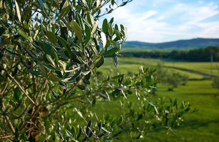 Αιτωλ/νία-Πρόγραμμα Συγκριτικών Πειραματικών Εργασιών Καταπολέμησης του Δάκου της Ελιάς
