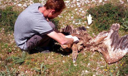 Οικολογικό έγκλημα στα Ακαρνανικά- Eξοντώνουν  όρνια σπάνιου είδους και αγελάδες!