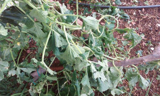 Θέρμο:Τεράστιες ζημιές στα αμπέλια από το Χαλάζι-H παραγωγή καταστράφηκε μέσα στο μισάωρο(ΦΩΤΟ)