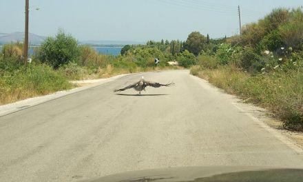 Αιτ/νία | Όρνια στη μέση του δρόμου! – Στήθηκε ολόκληρη επιχείρησηγια τον εντοπισμό και διάσωση των πτηνών(φωτο)