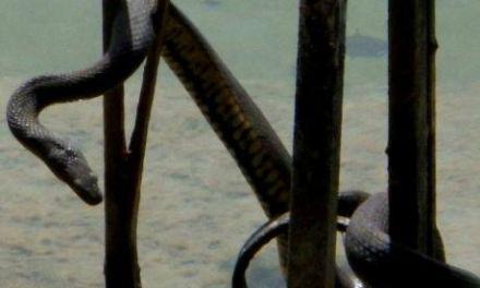 Γνωρίστε το μεγάλο λιμνόφιδο της Τριχωνίδας που τρομάζει….αλλά είναι πανέμορφο και αβλαβή!(βιντεο-φωτο)