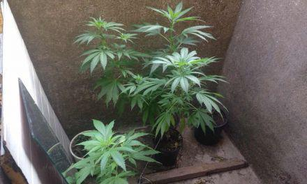 Αγρίνιο-53χρονος  καλλιεργούσε ναρκωτικά!