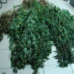 Δυτική Ελλάδα: Συνελήφθη καλλιεργητής ναρκωτικών(φωτο)