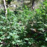 Δυτική Ελλάδα: Εντοπίστηκε οργανωμένη φυτεία (750) δενδρυλλίων κάνναβης (φωτο)