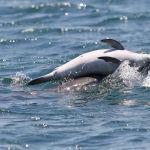 Δελφίνι αρνείται να εγκαταλείψει το νεκρό μωρό του στον Αμβρακικό Κόλπο-Συγκλονιστικό βίντεο και φωτογραφικό υλικο!