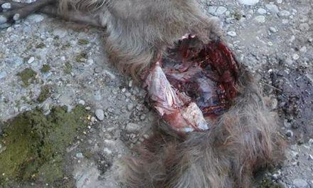 Αγρίνιο: Λύκοι κατασπάραξαν γίδια στη Καστανούλα- Έκκληση Κτηνοτρόφων (σκληρές εικόνες!)
