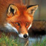 Πρόγραμμα εμβολιασμού των κόκκινων αλεπούδων στην Αιτωλοακαρνανία-η απόφαση