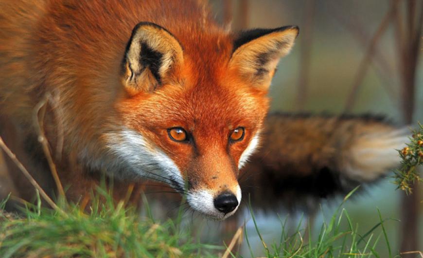 Αιτωλοακαρνανία- εμβολιασμοί κατά της λύσσας των κόκκινων αλεπούδων