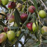 Πρόβλημα για τις ελιές η αυξημένη υγρασία στην Αιτωλοακαρνανία
