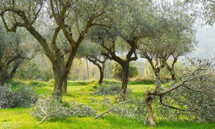 Ελαιόδεντρα: Οδηγίες για το κλάδεμα