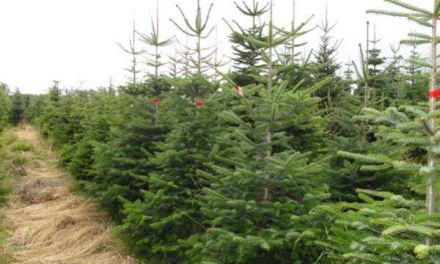 Από 30 Νοεμβρίου αρχίζει η πώληση των φυσικών Χριστουγεννιάτικων δέντρων