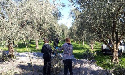 Εγγραφές ελαιοπαραγωγών ως μέλη των 2 νέων οργανώσεων παράγωγων επιτραπέζιας ελιάς