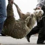 Δε δίστασαν να κλέψουν ολόκληρο κοπάδι προβάτων στα Καλύβια-Σε απόγνωση ο κτηνοτρόφος!