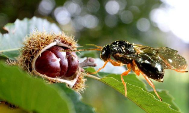 Βιολογική καταπολέμηση της σφήκας της καστανιάς.