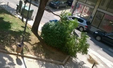 Αγρίνιο:Επικίνδυνα δέντρα στο κέντρο -Πτώση μεγάλου κλαδιού