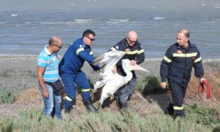 Η διάσωση ενός πελεκάνου στο Ιβάρι της Λευκάδας από την Πυροσβεστική